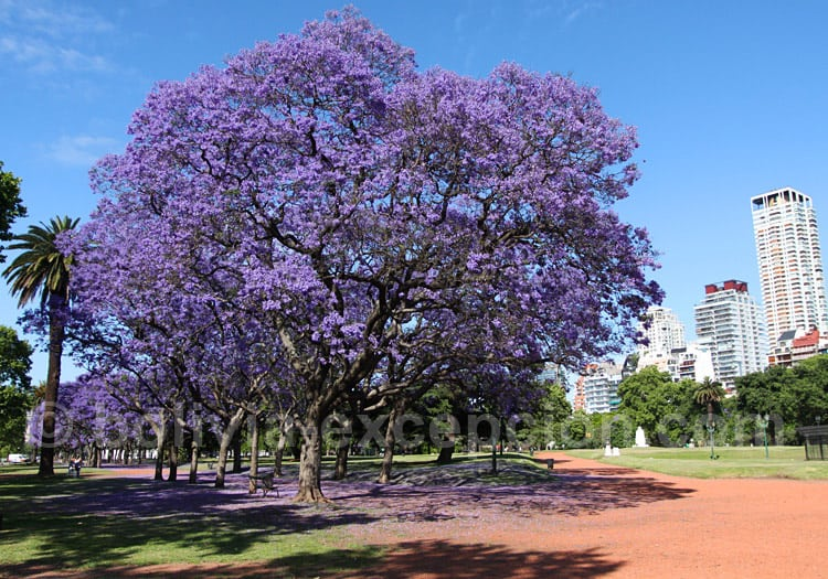 Jacarandas à Palermo, Buenos Aires