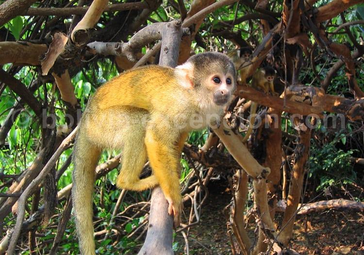 Singe écureuil, zone protégée de Ibaré