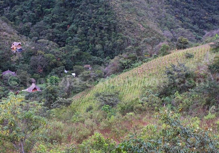 Champs de coca près de La Paz