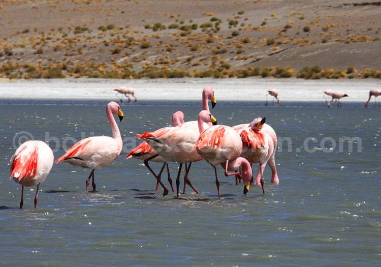 Flamants site Ramar de la laguna Colorada
