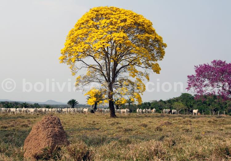 Lapacho jaune