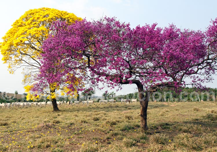 Lapacho rose
