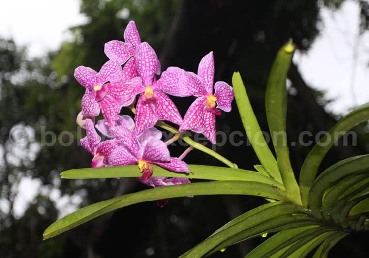 Vanda coerulea (orchidaceae)