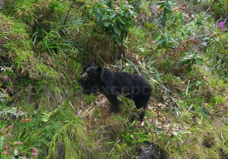 Ours à lunettes, parc Tunari