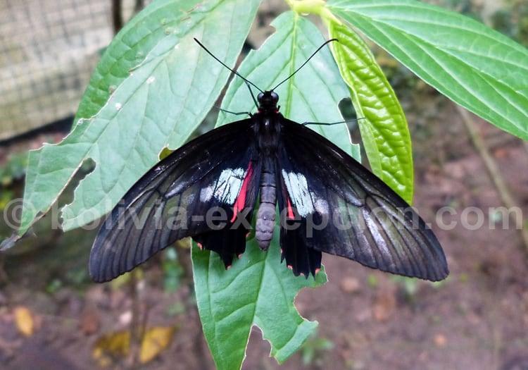 Papilio anchisiade