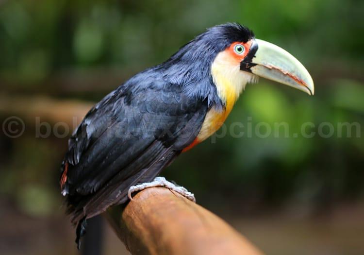 oiseau Martine 26/02 - bravo Ajonc Ramphastos-dicolorus
