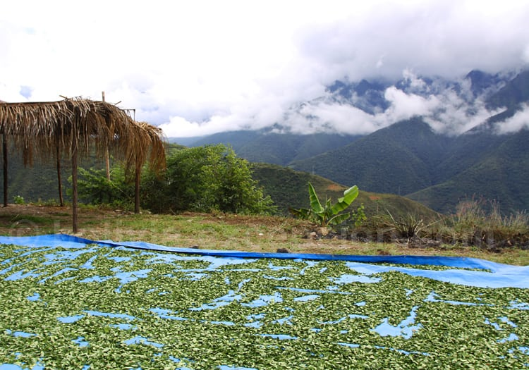 Séchage de feuilles de coca, Las Yungas