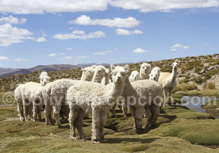 Alpaga Huacaya, Bolivie
