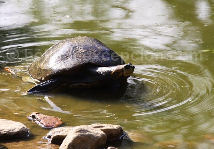 Tortue tartaruga