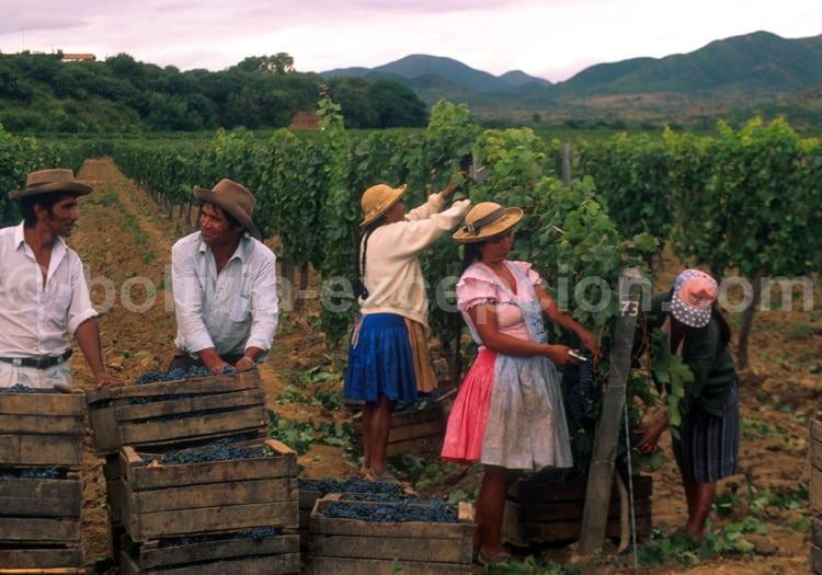 Vendanges, Tarija, Bolivie