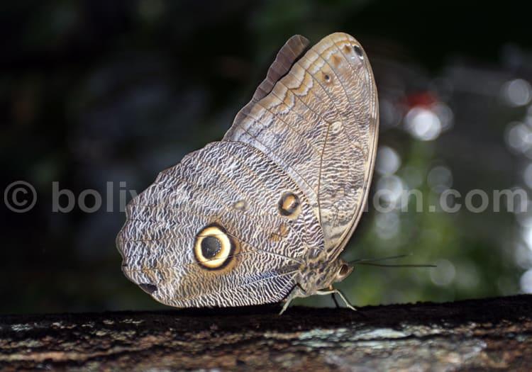 Caligo illioneus