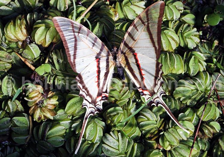 Eurytides bellerophon