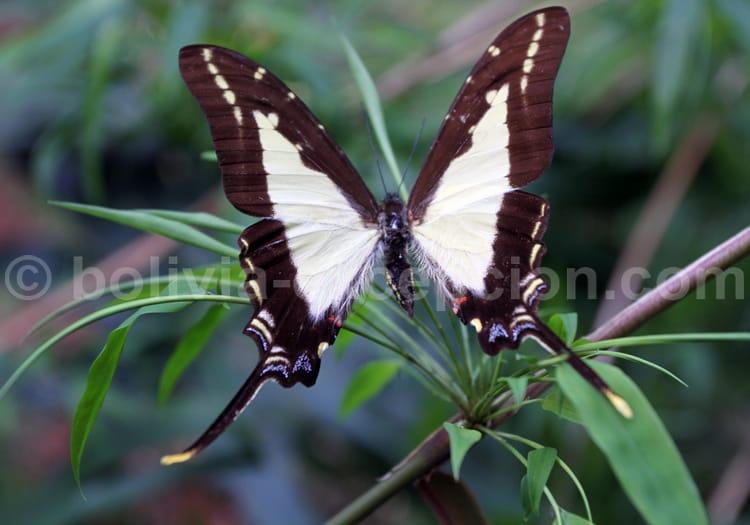 Neographium calliste olbius