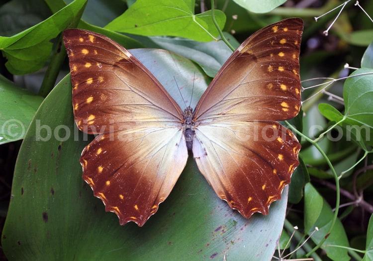 Papillon non identifié, Bolivie