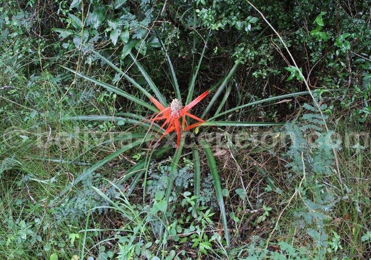 Bromelia Balansae