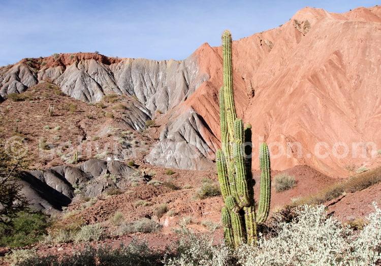Cactus dans l'altiplano bolivien