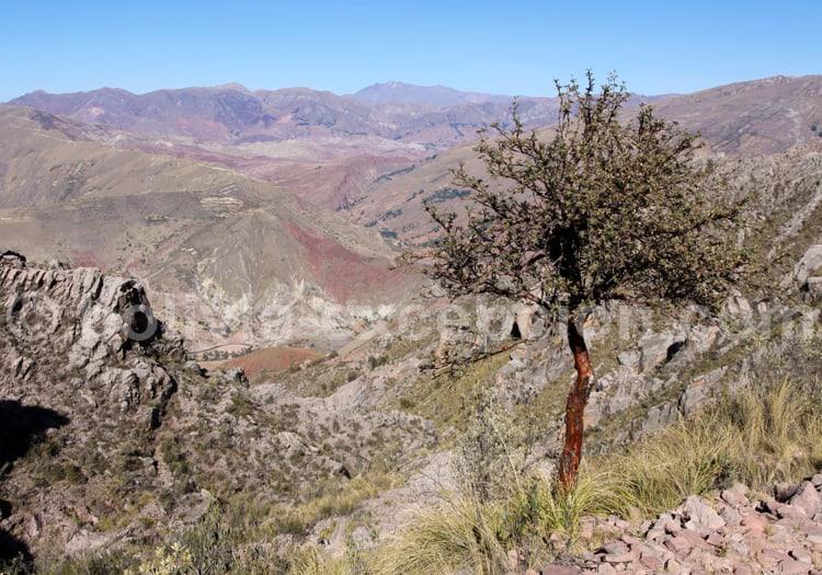 La queñua, réserve nationale Eduardo Avaroa