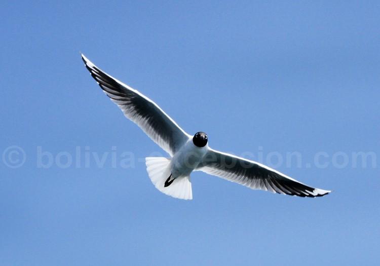 Faune aviaire, Lac Titicaca