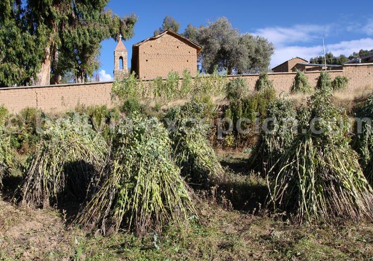 Récolte agricole, Yumani