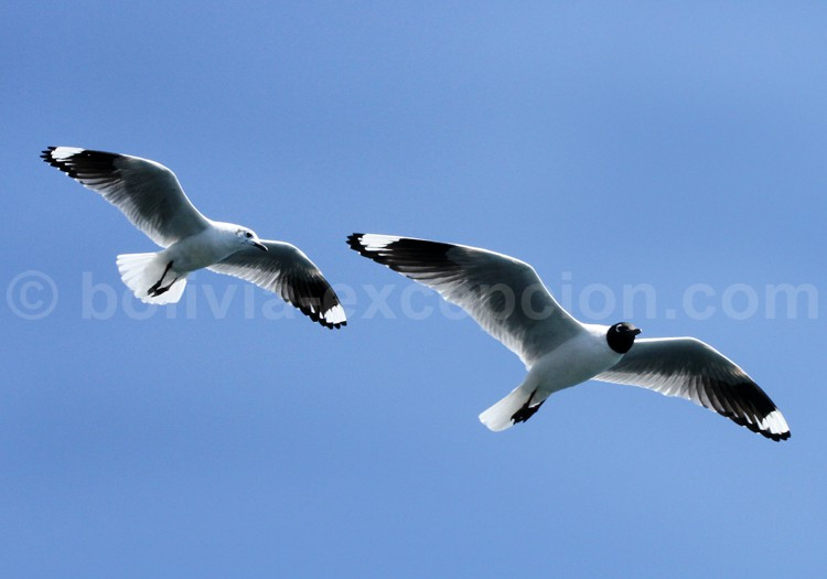 Oiseaux marins. Tuquina