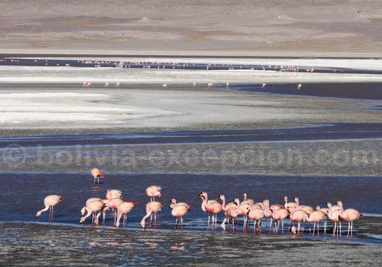 Colonie de flamands roses, laguna Colorada