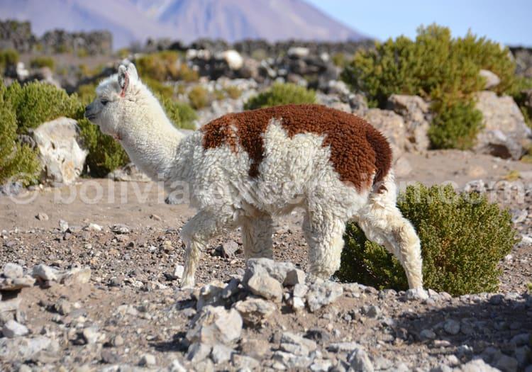Alpaga, Bolivie