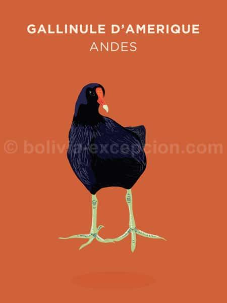 Gallinule d'Amérique, Andes