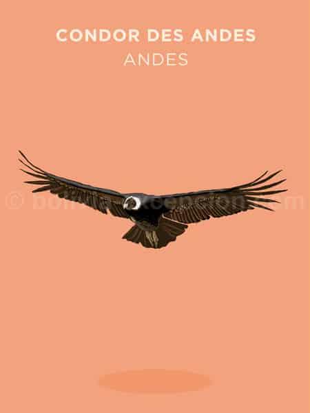 Condor des Andes, Andes