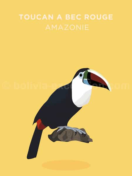 Toucan à bec rouge, Amazonie