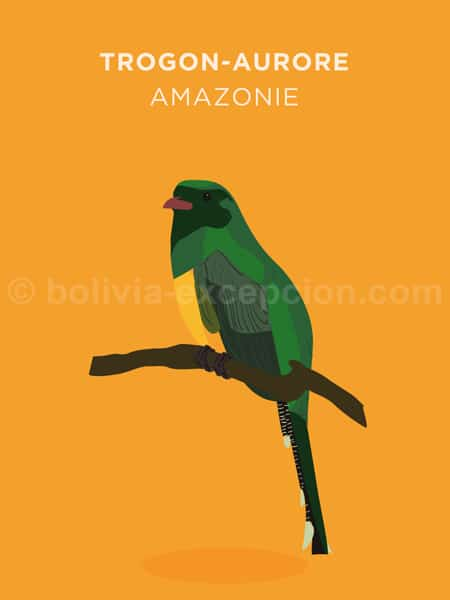 Trogon Aurore, Amazonie
