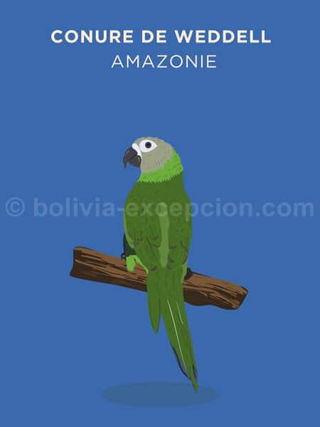 Conure de Weddel, Amazonie