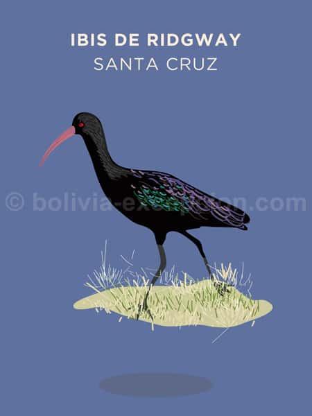 Ibis de Ridgway, Santa Cruz