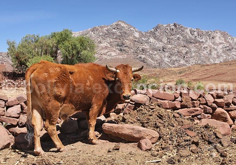 Animaux d'élevage en Bolivie