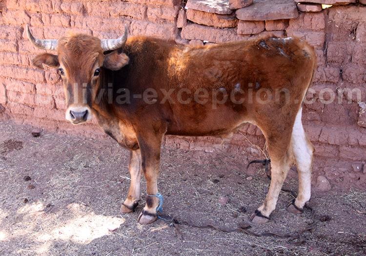 Elevage bovin, Bolivie