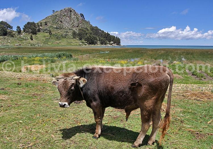 Bête de somme, Bolivie