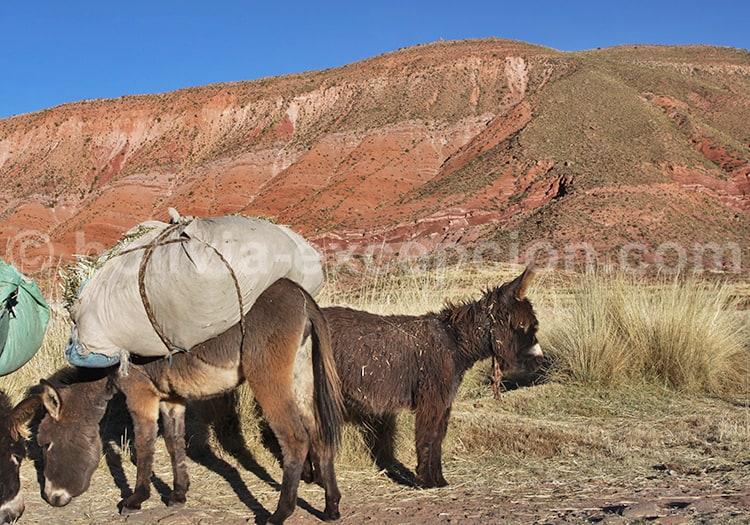 Animal de portage, Bolivie