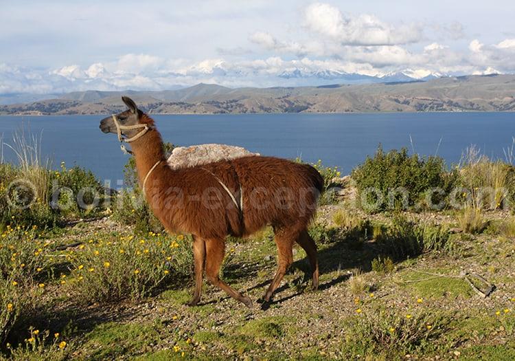 Lamas, Lac Titicaca, Bolivie