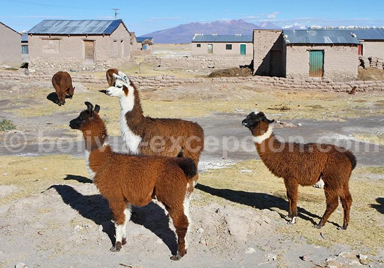Lamas, Faune Bolivie