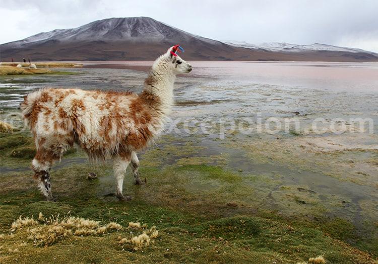 Lama, Sud Lipez, Bolivie