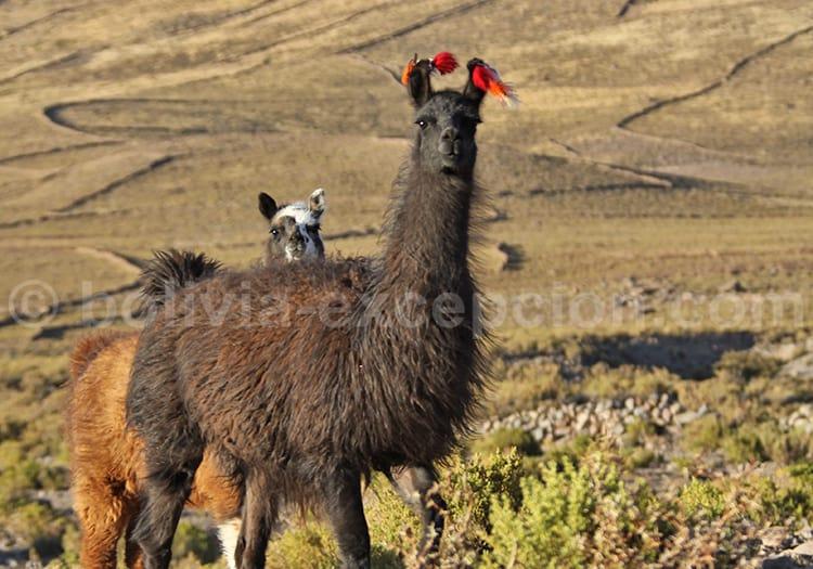 Lamas, Bolivie