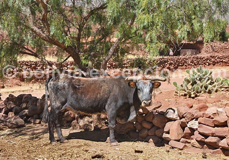 Animaux domestiques de Bolivie