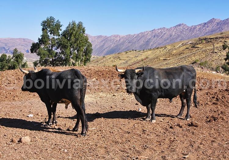 Troupeau de boeufs, Bolivie