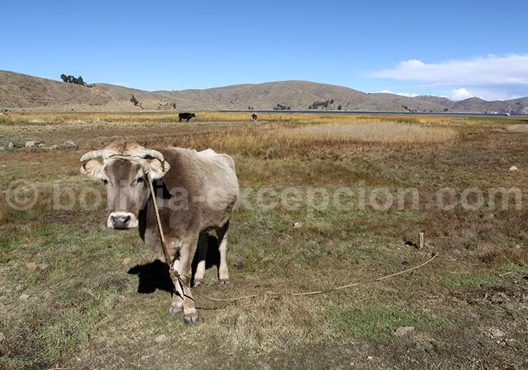 Boeuf, Bolivie