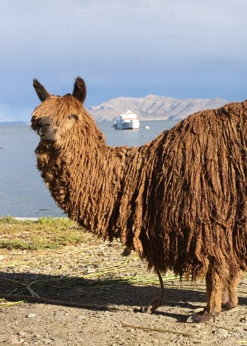 La laine d'alpaga en Bolivie