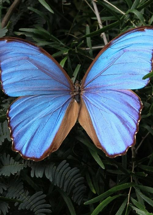Papillons de Bolivie