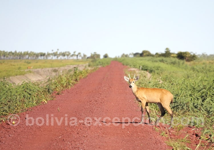 Faune du Pantanal bolivien