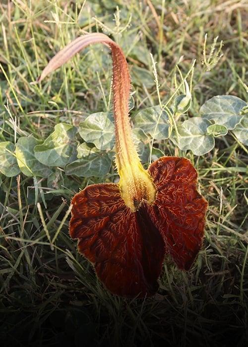 Fleur des basses terres