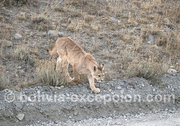 Puma, Bolivie