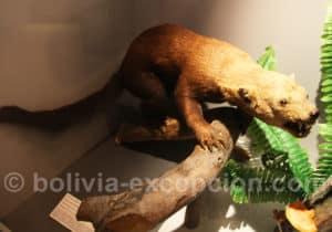 Ratel (Mellivora capensis)