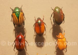 Rutelidae, collection d'Orbigny à Cochabamba